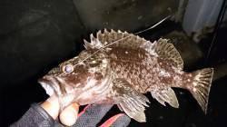 須磨周辺 ガシラの接岸具合を調査〜まだ20cm越える個体は釣れません