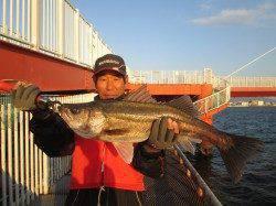 尼崎市立魚つり公園 良型スズキ・ハネが釣れています!