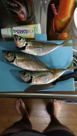 汐見埠頭 サビキのアジ釣りは20cm以上は3尾