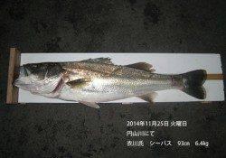 円山川にてランカーがヒット シーバス93㎝・6.4㎏!