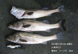 久美浜にてシーバス80cm