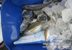 津居山(小島)にて小アジが大漁でした