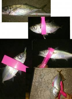 大阪南港 激寒の中のアジング釣行 回遊待ちするといいサイズがきました