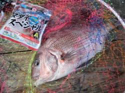 田尻の海上釣堀でマダイ 同行者の変り種エサにはヒラマサやシマアジも