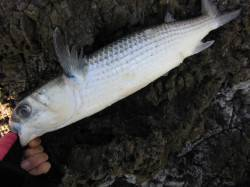 ヒラバエ 沖磯でグレ狙い釣行 本命グレの顔は拝めずアイゴ・ボラの釣果