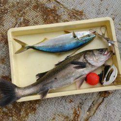 岸和田一文字・沖の北ハネ9本と好調 ほかチヌやハマチ、スズキも釣果あり
