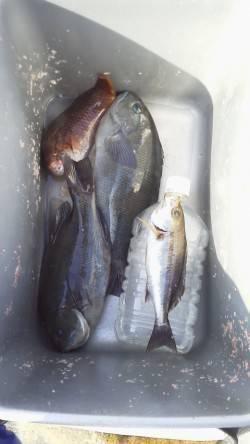 御坊のカツオ島にてフカセ釣り 小型のグレは多数釣れました
