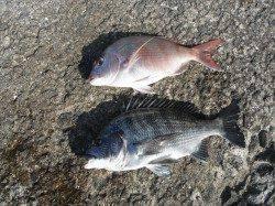 和歌山北港魚つり公園 マダイ50cmをキャッチ