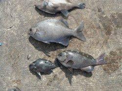 和歌山北港魚つり公園 イスズミ・グレ・ウマヅラハギ