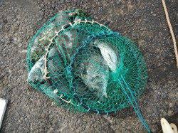 和歌山北港魚つり公園 チヌ・グレ・アイゴ・ウマヅラなど