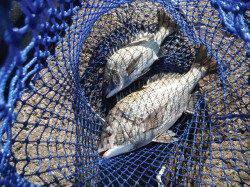 北港釣り公園 チヌ〜44cmの釣果