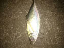 大阪南港アジング釣果 デカアジとサバ釣れていました