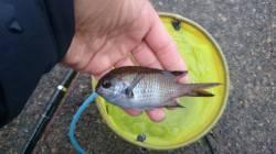 香住東港 青イソメをエサにコマセで寄せて釣る釣り方でアジなど