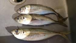 香住東港 鯵釣りに日本海遠征、30cmの良型アジも釣れました