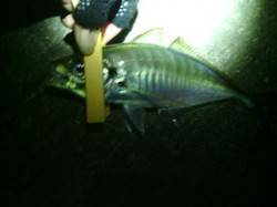 大阪南港アジング 良型24〜29cmをゲットでき満足のいく釣り
