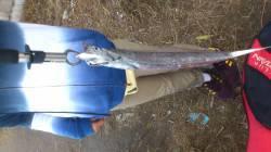 南港 ワインド釣行もタチウオは〜60cmまで