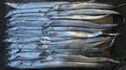 南塩屋でワインド 太刀魚大漁でした♫
