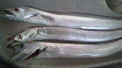 日高港湾タチウオ釣り 風弱く釣りやすかったですが時合短く3匹ゲット