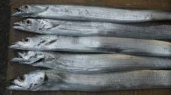 日高港湾にてタチウオ釣り 日に日に渋くなってきていますが5匹ゲット!