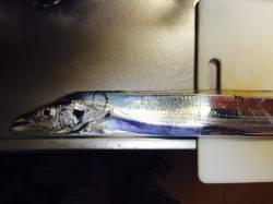 岸和田 ウキ釣りでのタチウオ狙いはF4サイズの良型がヒット