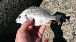 フカセ釣りで小型のチヌ 大津川南側テトラ付近にて