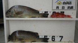 串本堤防でコロダイの釣果