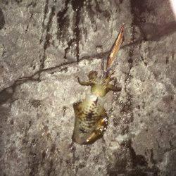 伊根 エギングでアオリイカの釣果 朝マヅメは青物の回遊あり