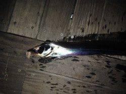 大阪南港で太刀魚ウキ釣り 夜明け前に指4本サイズ