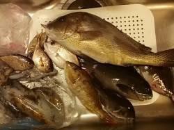 切目川河口周辺 カゴ釣りでコロダイ52cm、エギングでアオリイカなど☆