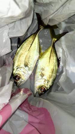 マリーナシティのメッキ釣り、かなり数が減ってきました