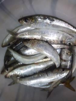 マリーナ付近でイワシの大群を確認!大漁でした!