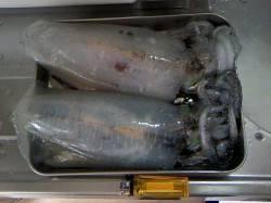 千田漁港エギングでアオリイカ620g&520g 久しぶりのいいサイズで満足