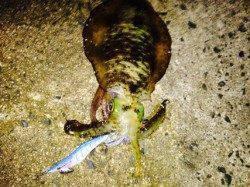 蒲入にて胴長23センチのアオリイカ まだまだエギングシーズン!