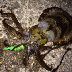 泉南エギング調査 シャローエリアの藻が多いポイント攻め連続ヒット!