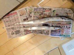 泉佐野 ウキ釣りでタチウオ、指5本級の良型に満足でした