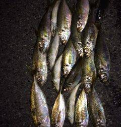 舞洲アジング 雨の中19匹、ジャンボもまじり楽しい釣行