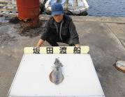 黒島の筏、黒島の磯でのヤエン釣果 アオリイカ0.7kgのナイスサイズ