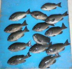 舞鶴田井の磯のフカセ釣りでグレ30UPを14枚