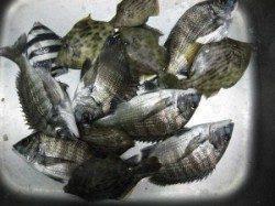六本裏カセのチヌ、アジの泳がせでセイゴの釣果 ハネのバラシもありました