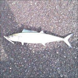 舞鶴湾内にサゴシが出没 平から佐波賀周辺二箇所探って8匹がヒット