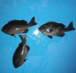 音海磯 二人でグレ30cmオーバー3匹の釣果 まだエサ取り多いです