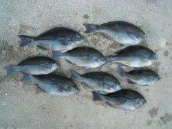湯浅の磯 フカセでグレ・アイゴの釣果