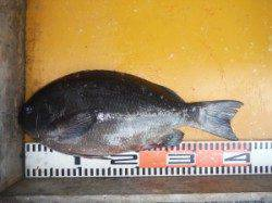 三尾の磯 超短時間の中フカセでグレ40cm