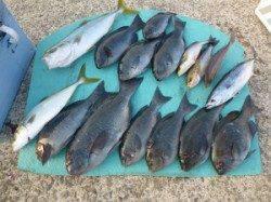 一文字でカゴ釣り ハマチ・グレをはじめ色々つれています