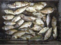 アイゴ・バリコ合計72匹爆釣!カルモ島でのフカセ釣り