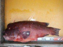 三尾の磯・松ケ下にてグレ44cm カゴ釣りで良型の顔が拝めました