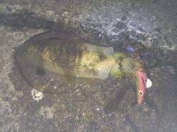 磯ノ浦 シャローポイントでエギング アオリイカのほかタコも釣れました