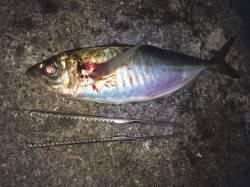 紀ノ川河口 夜釣りのウキ釣り釣行 アジは最大35cmも