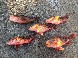 紀ノ川河口周辺 エギングロッドでおかずの根魚釣り ガシラとアコウの釣果