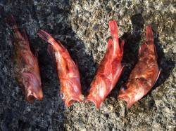 紀ノ川河口 ズボ釣りでガシラ アベレージサイズは17、8cm